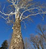 Winter Sycamore Tree Stock Photos