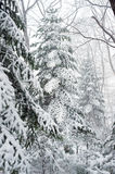 Winter taiga forest trees under snowfall Stock Image