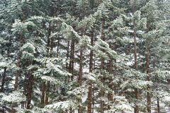 Winter taiga forest under snowfall background Royalty Free Stock Photos