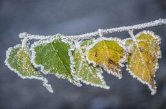 Winter takes over. Paled leaves with frozen particles of rime Stock Images