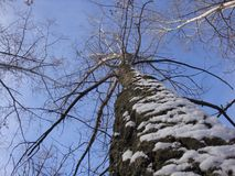 Winter tall tree with bark, which is plastered with snow against a blue sky royalty free stock images