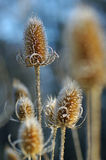 Winter Teasel #2 Royalty Free Stock Photos