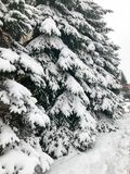 Winter texture with Christmas trees with branches festive covered with a thick layer of white cold shiny fluffy snow. background stock image