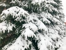Winter texture with Christmas trees with branches festive covered with a thick layer of white cold shiny fluffy snow. background stock photography