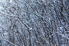 Winter texture of threes. Snow covered trees in winter . Winter forest with frozen trees. Cold day in snowy winter forest Stock Images