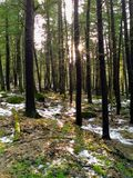 Winter thaw. Walk in the woods on a sunny day royalty free stock images