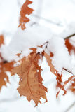Winter theme. Oak leaves are covered with snow. Royalty Free Stock Photos