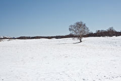 In winter there is snow on the grassland with silver birch forest. Stock Photo