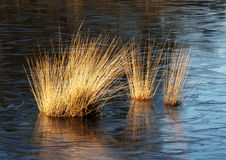 Winter. Three sunlit bushes of reeds in a frozen-over pond royalty free stock image
