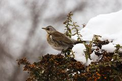 Winter thrush stands on a bush Stock Photos