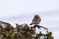 Winter thrush stands on a bush Stock Photography