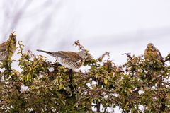 winter thrush stands on a bush Royalty Free Stock Images