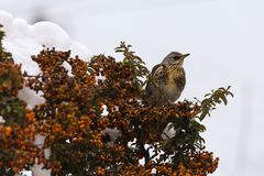 Winter thrush stands on a bush Stock Image