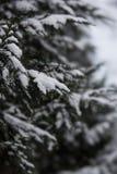 Winter Thuja Stockfoto
