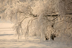 Winter time. Snowy branches at winter time Stock Photography