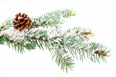 Winter time. Fir branch with snow in the winter Stock Image