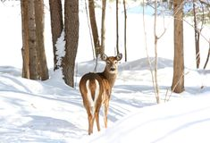 Winter time. Deer in nature during winter Stock Photography