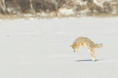 Pouncing Coyote. During winter time Coyotes need do use different hunting strategies to get their prey Stock Photos
