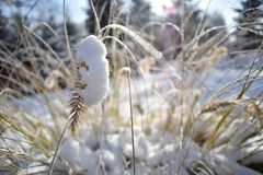 Winter time detail. Blades of grass in snow. Sun fuzzy light. Snow-covered blades of grass in the background of the sun. View of winter Polish landscape with royalty free stock images
