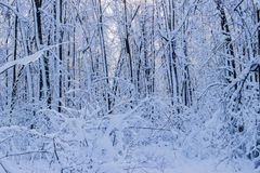 Winter time in the forest. Winter time and the forest under the snow Royalty Free Stock Photo