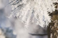 Winter time and frozen pine needles with rime and frost crystals in sunlight stock photo