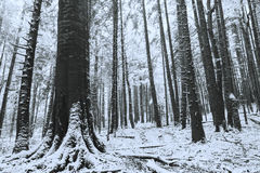 Winter time inside the forest on a foggy day Royalty Free Stock Photos