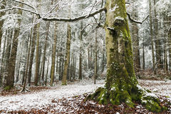 Winter time inside the forest on a foggy day Royalty Free Stock Photo