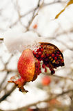Winter time: pomegranate on the tree. Ripe colorful pomegranate fruit on tree branch under snow in the garden royalty free stock image