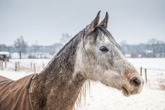 Portrait Amigo. Winter time in suburb of Hamburg, Portrait of horse Royalty Free Stock Images