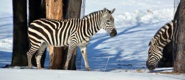 Winter time Zebras Royalty Free Stock Photo