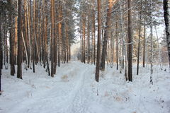 Winter trail. Trail through the winter forest Stock Photos