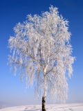 Winter tree #04. Frozen birch-tree, polish winter stock photography