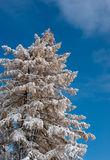 Winter tree. Larch tree  covered by snow with clear sky backdrop Royalty Free Stock Images