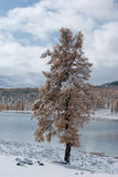 Winter tree. Larch tree  covered by snow with mountain lake and forest background. 2100m above sea level Royalty Free Stock Photography