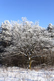 Winter tree. Royalty Free Stock Images
