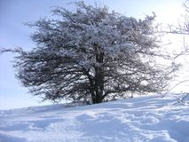 Winter tree. Tree in cold winter covered by lots of snow Royalty Free Stock Photos