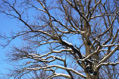 The winter tree. Branches of a tree under snow over blue sky in wintertime Stock Photos