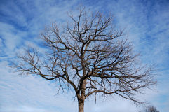 Winter tree. Bare winter tree against blue sky royalty free stock image