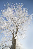 Winter tree. Stock Photo