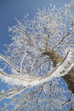 Winter tree. Royalty Free Stock Photo