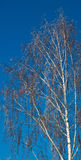 Winter tree. In the blue sky Royalty Free Stock Image