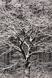 Winter tree. Royalty Free Stock Photo