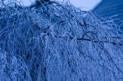 Winter tree. In the early hours of the morning Stock Photography