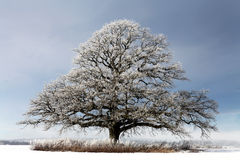 Nice winter tree. Large oak in a snowy field. Beautiful tree Stock Images
