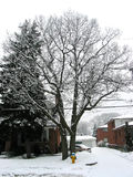 Winter tree. On residential street in the city Royalty Free Stock Images