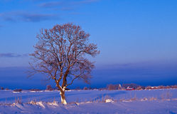 Winter tree. In the field at dawn Stock Photo