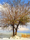 Winter tree. Bare, leafless lone tree in winter or early spring Stock Images
