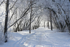 Winter tree. Cold winter snow forest tree frozen Stock Photography