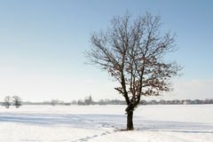 Winter tree. A lonely oak on the snowy field Stock Photos