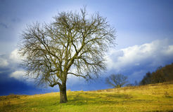 Winter tree. Bare, leafless lone tree in winter or early spring Stock Image